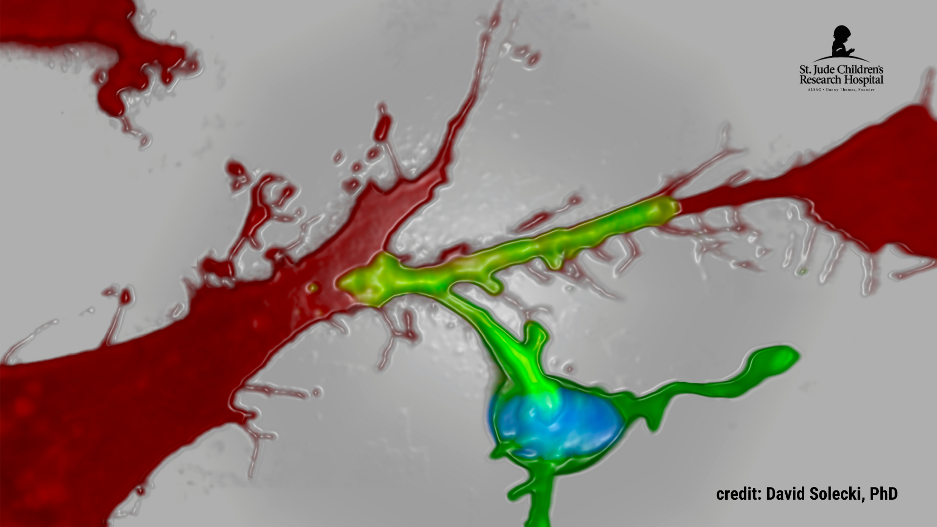 3D rendering by David Solecki, PhD, of a cerebellar granule neuron (green cell with blue nucleus) binding to a cerebellar glial cell (red)